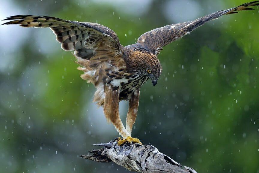 how long do hawks live