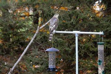 how to keep hawks away
