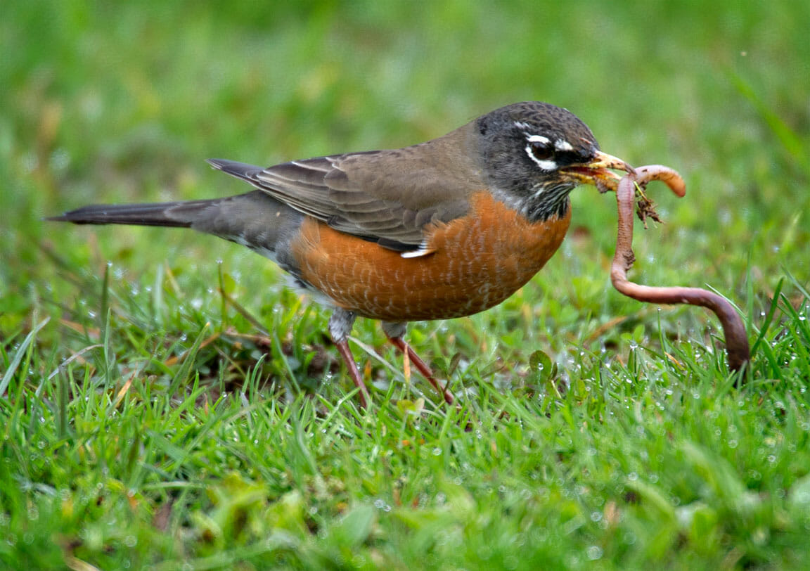 american robin worm