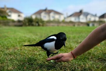are magpies lucky or unlucky