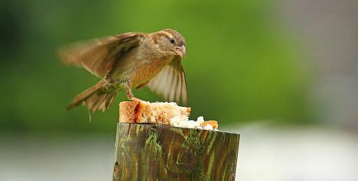 can birds eat bread