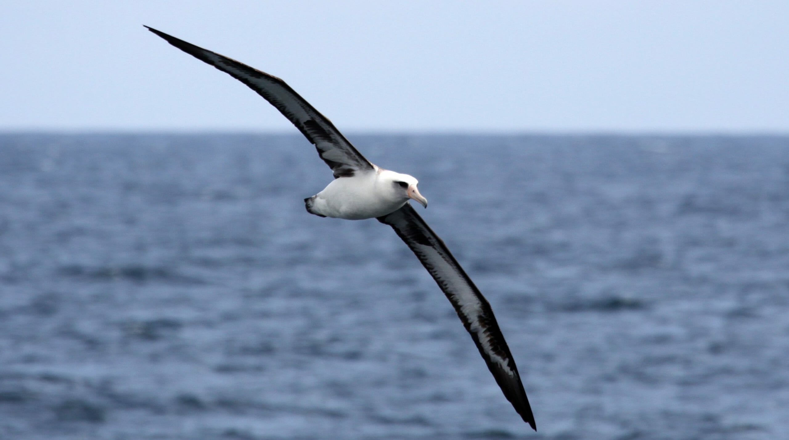 albatross at sea