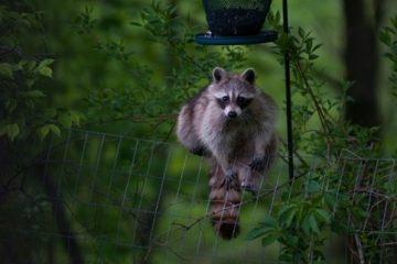 do raccoons eat bird seed
