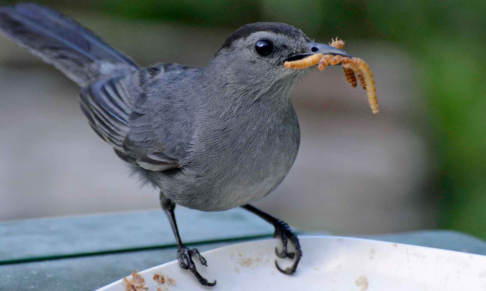 bird eating mealworms