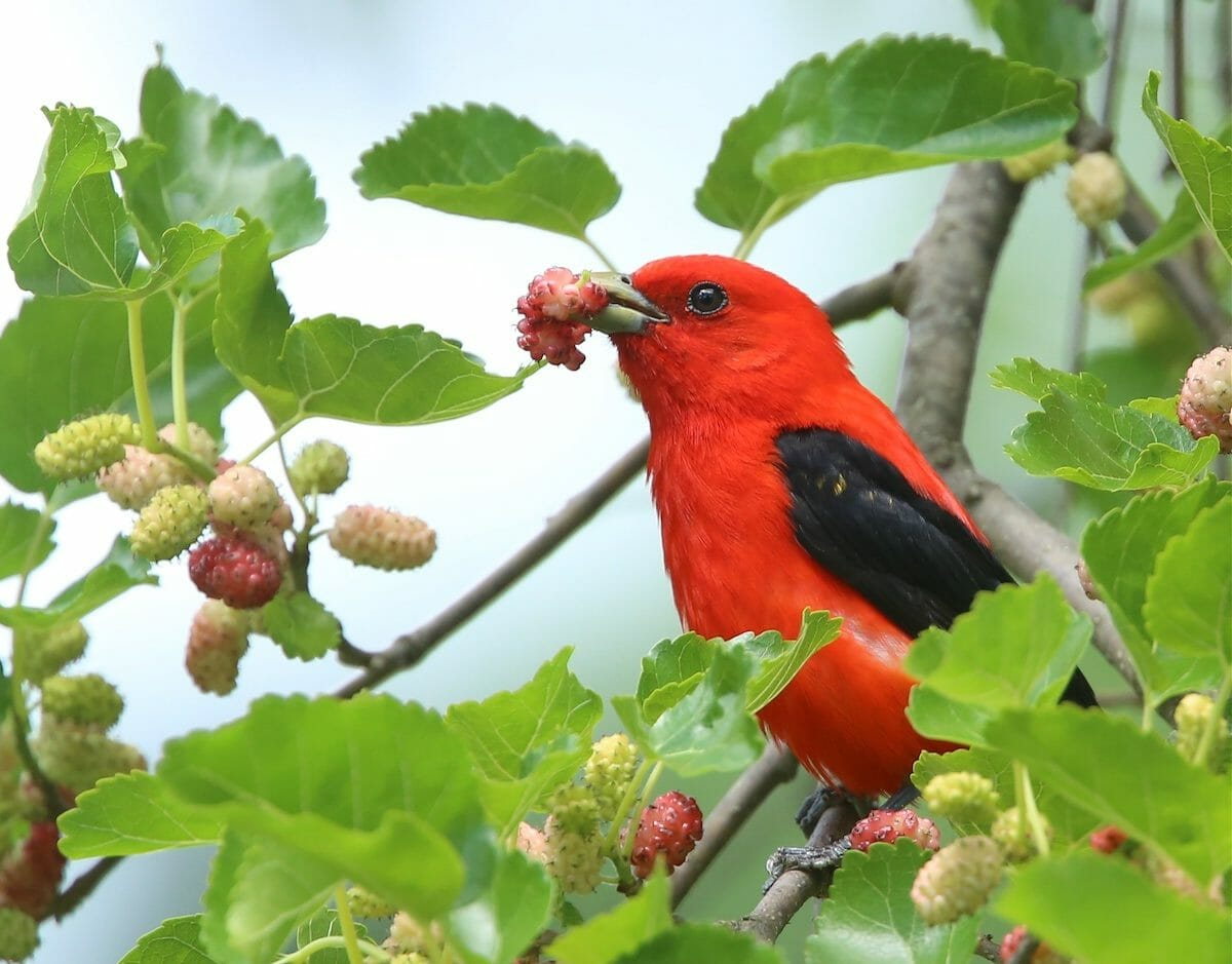 how do cardinals use glucose to survive