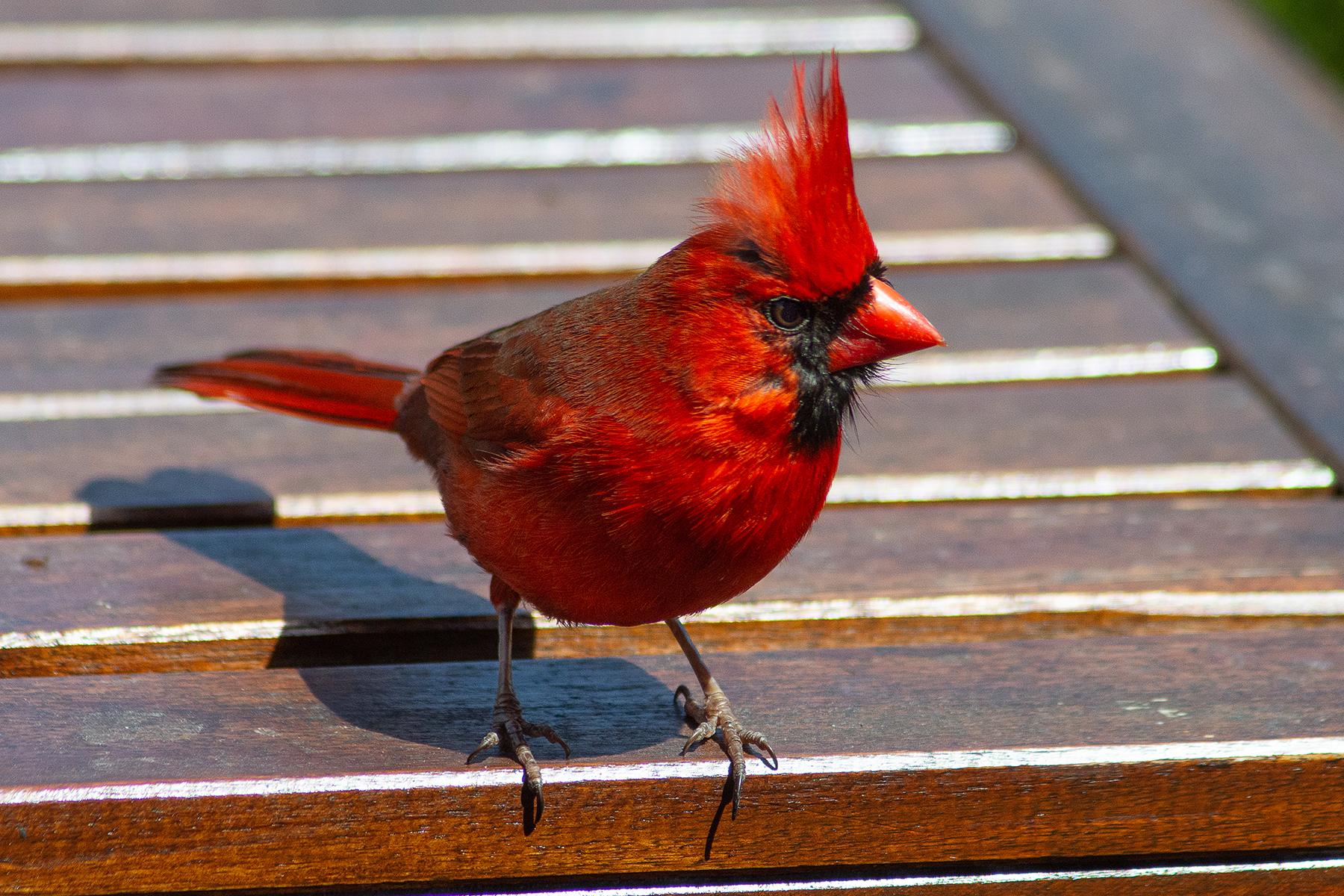 how long do cardinals live