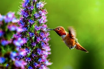 what flowers do hummingbirds like