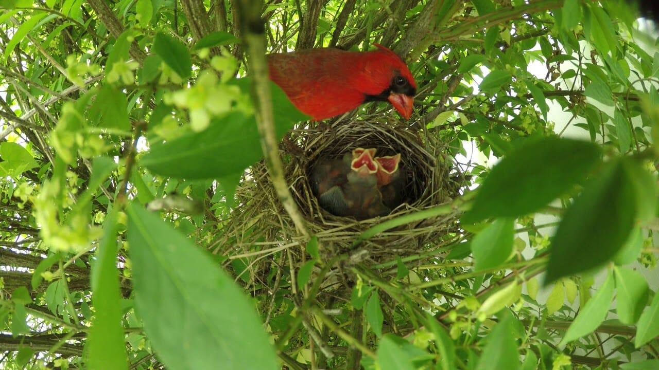 where do cardinals nest