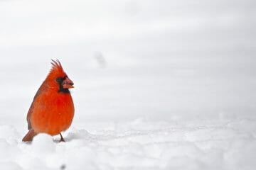 why do cardinals come out in the snow