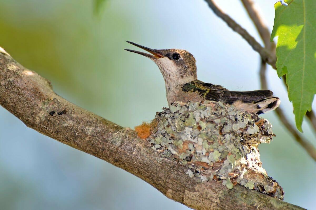 hummingbirds nest guide