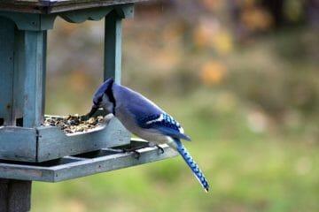 best blue jay bird feeder