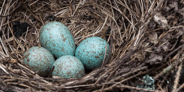 blue jay eggs