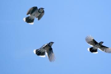 do blue jays migrate
