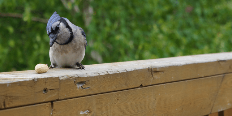 how to attract blue jays to your yard