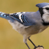 what does a blue jay sound like