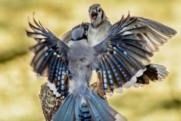 are blue jays aggressive birds