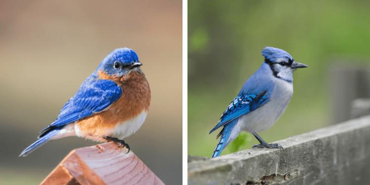 bluebird vs blue jay