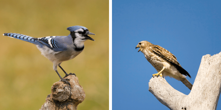 why do blue jays mimic hawks