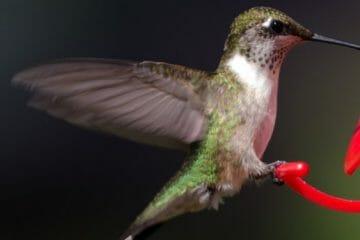 do hummingbirds feed at night
