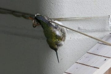 do hummingbirds sleep upside down