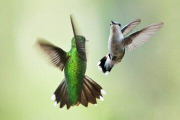 how do hummingbirds mate