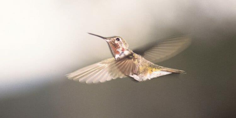 how high do hummingbirds fly