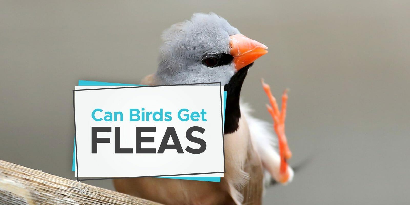 can birds get fleas