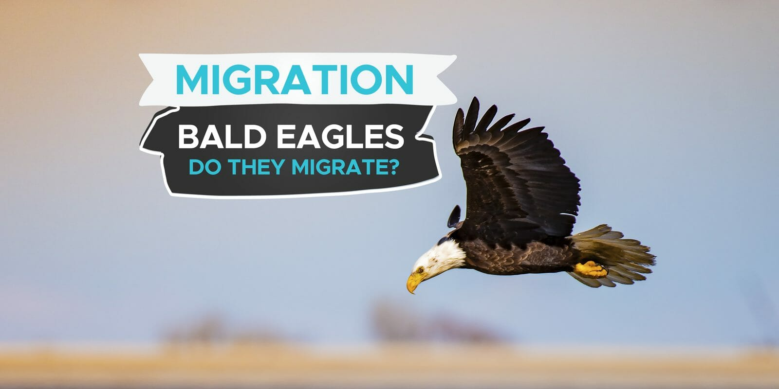 do bald eagles migrate