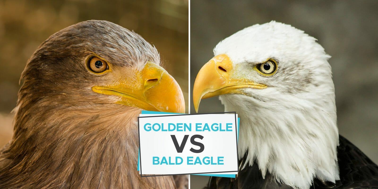golden eagles vs bald eagle