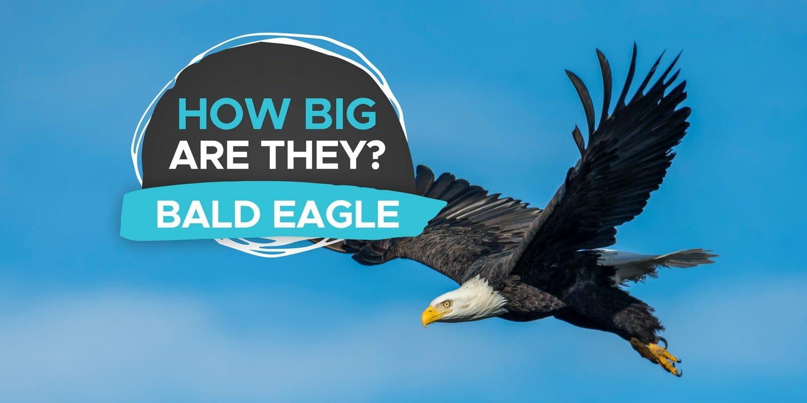 how big is a bald eagle