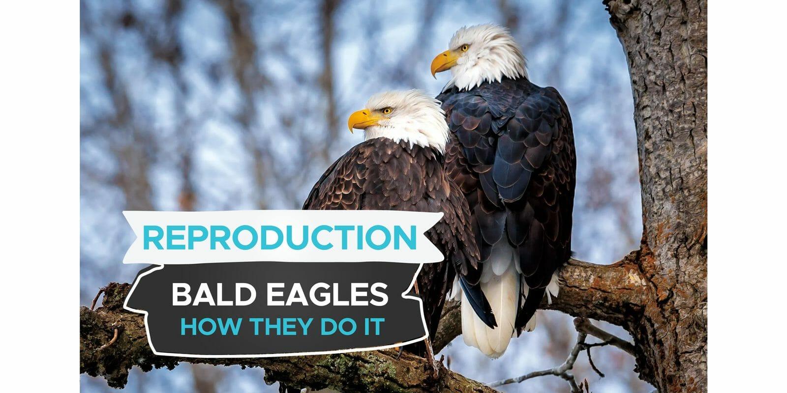 how do bald eagles reproduce