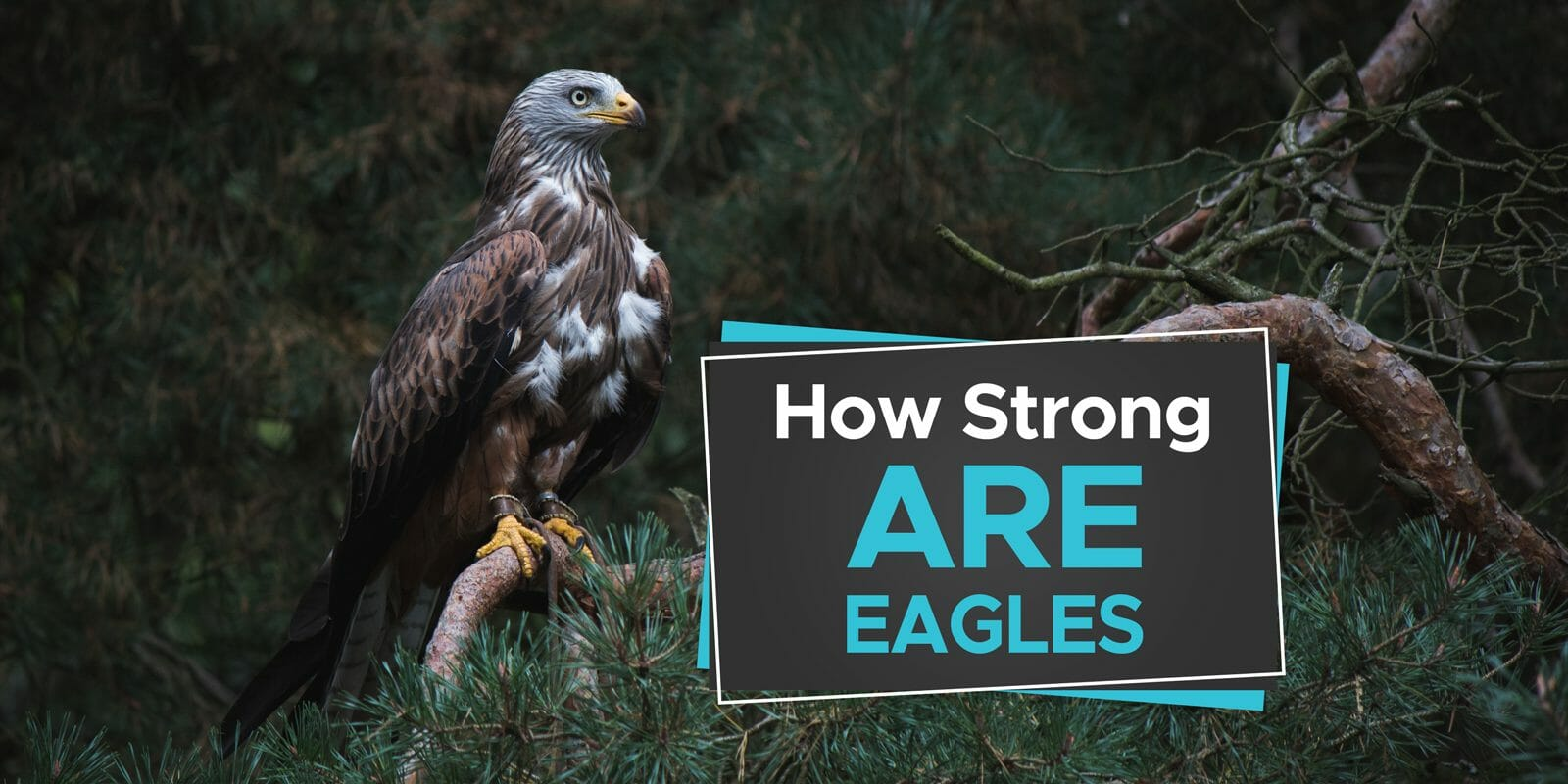 how strong are eagles